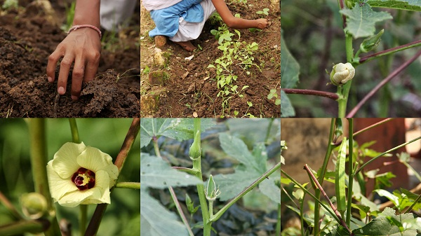 A visual of the process of the growth of the Bhindi. The students are so pleased with their garden and the effort they put in truly shows!
