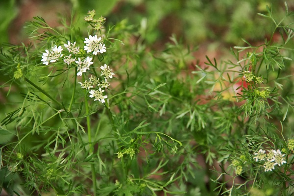 The coriander flowers making the patch look alive.