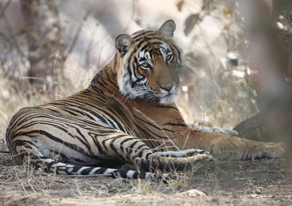 Tigers, especially uneasy with the heat, spend many hours of their day cooling off in water holes during summer.