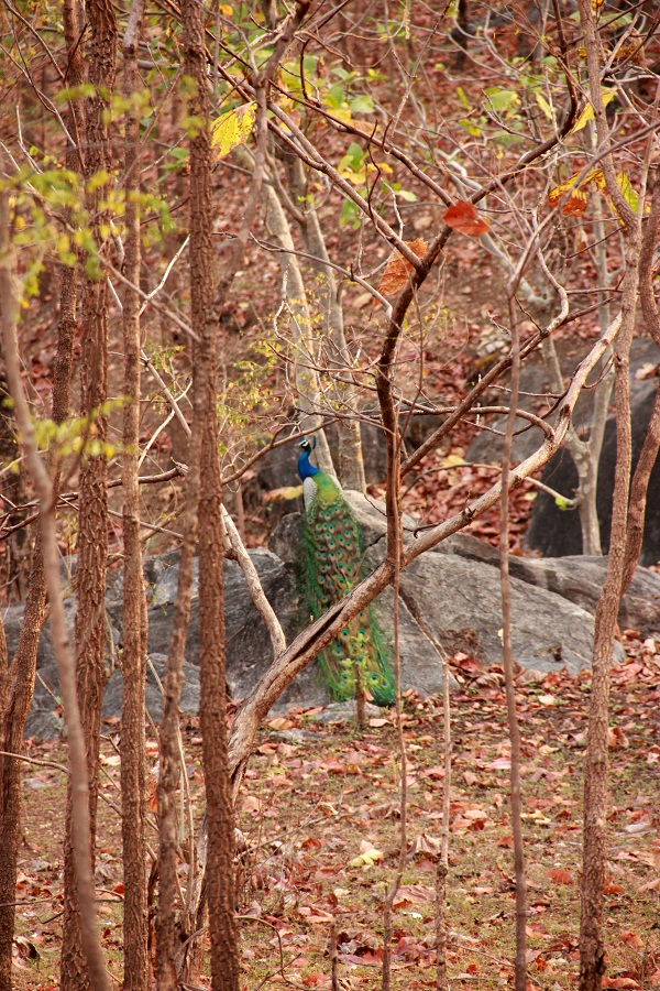 Even the unsettling heat of the merciless summer cannot lessen the beauty of the peacocks in Pench.
