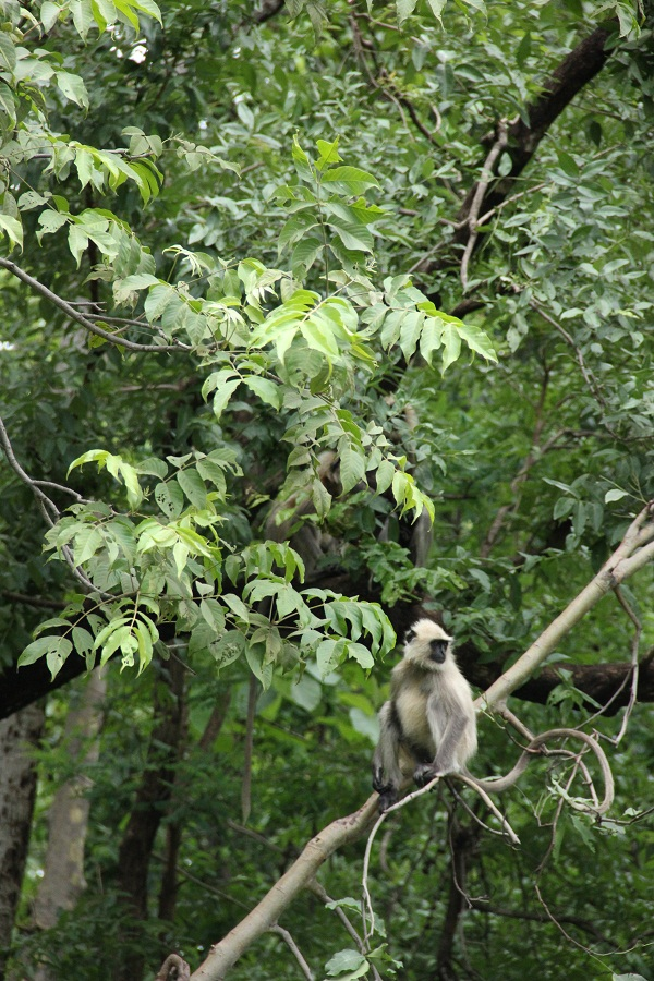 The langurs have plenty to  choose from during this time.